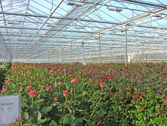 Выращивания цветов в теплице