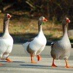 Бизнес-план по разведению гусей