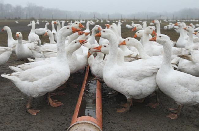 Оборудование для разведение гусей