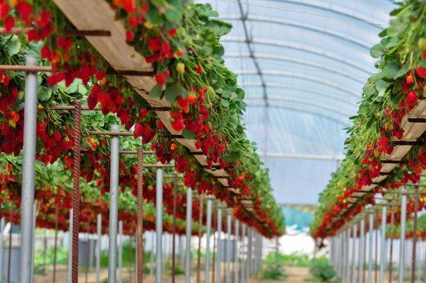 Выращивание клубники в теплице в специальных ящиках