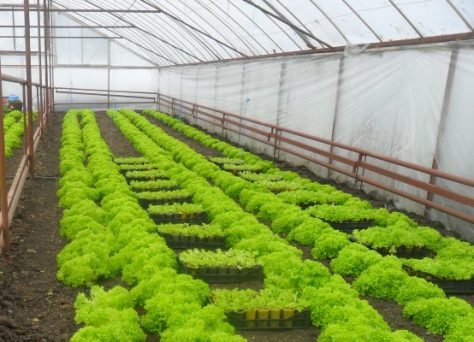 Выгода и риски бизнеса на выращивании зелени