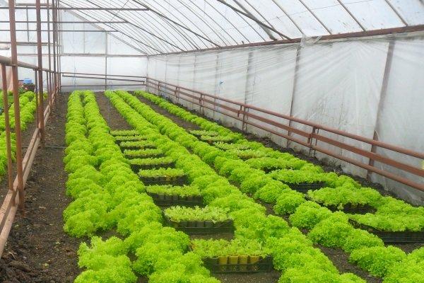 Выращивание зелени в теплицах как бизнес 23