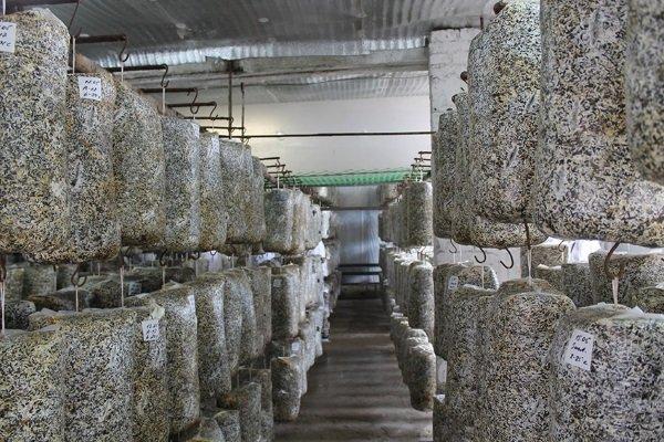 Изображение - Как зарабатывать на выращивании шампиньонов дома 056296df4b285f15d7af3c78862f9ef3
