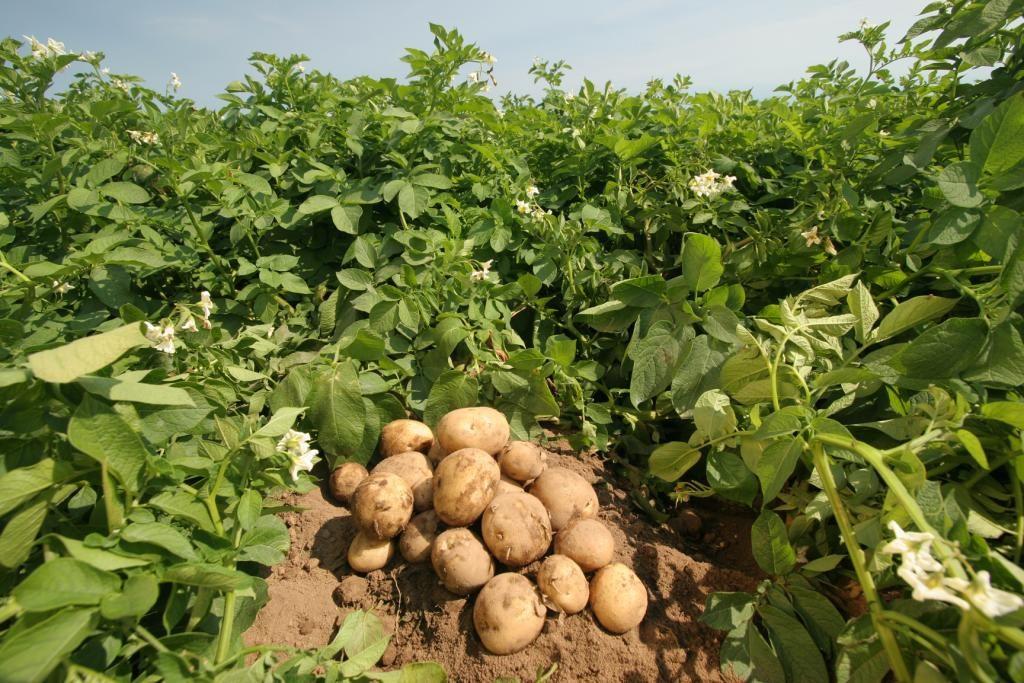 Выращивание картофеля на продажу