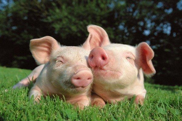 Молодые свинки