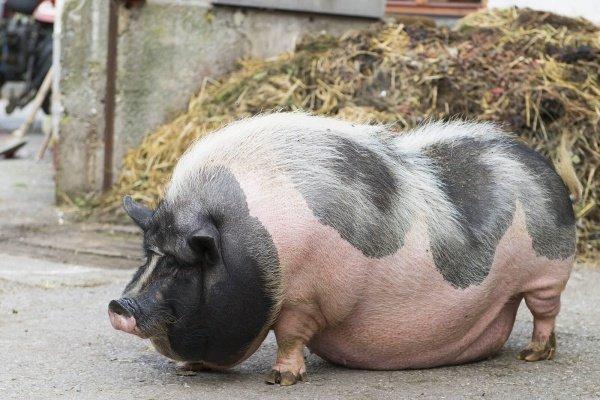 Свинья на сало