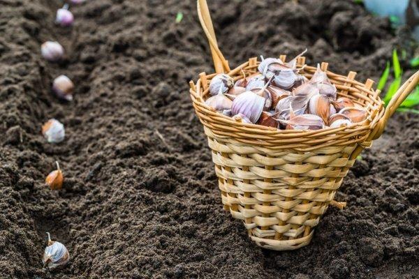 Бизнес план чеснок выращивание 48