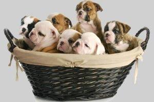 Как разводить собак на продажу? Бизнес-план для будущих собаководов