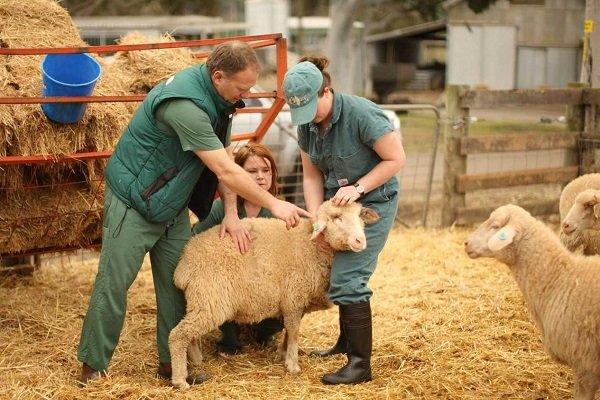 Прививка овец